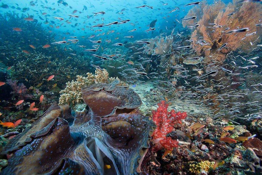 Giant clam and reef scene (Kri Island), Raja Ampat, Indonesia.