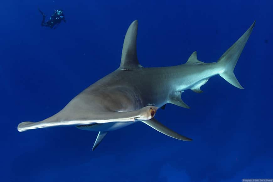 A great hammerhead shark (Sphyrna mokarran) with diver in the Bahamas.
