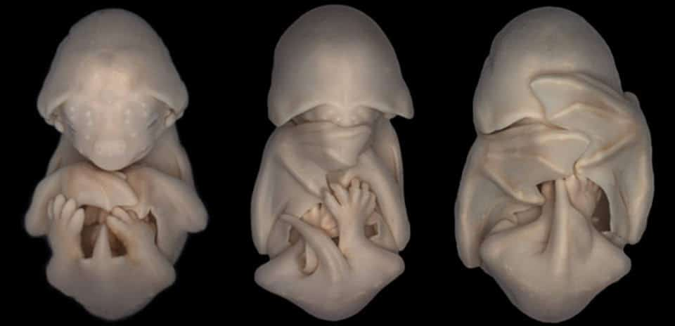 Embryos of the black mastiff bat.