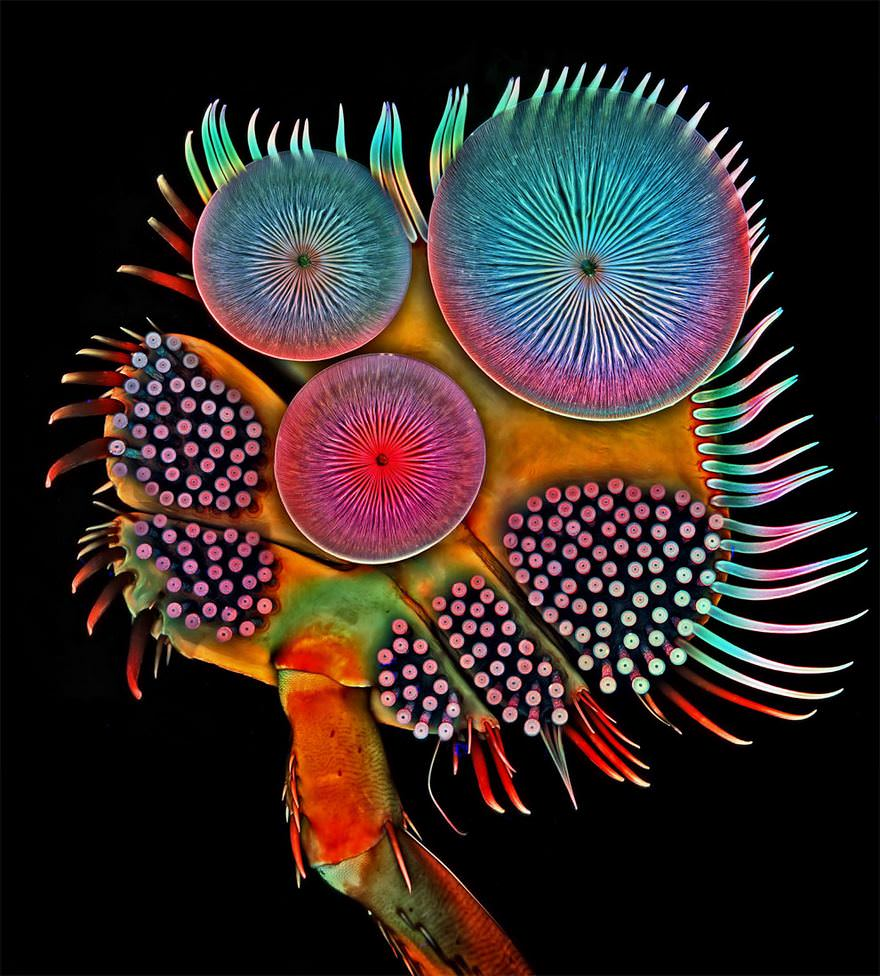 Front Foot Of A Male Diving Beetle