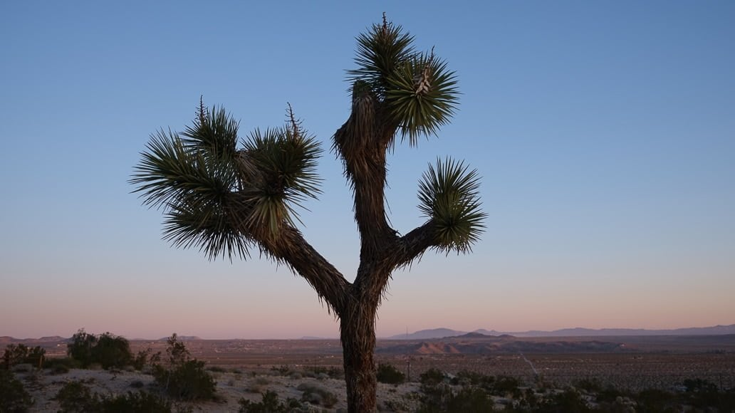 Joshua-tree-at-dusk