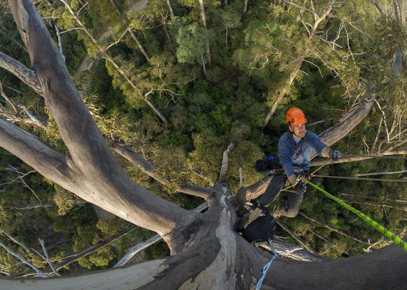 A scientist ascending a fixed rope in a 70 meter tall Eucalyptus regnans in Wielangta State Forest, Tasmania.