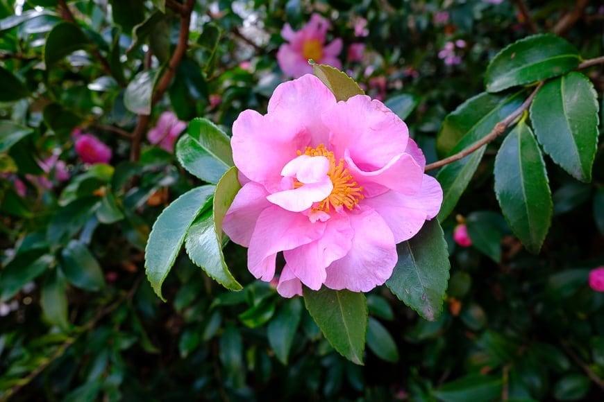 camellias fujifilm