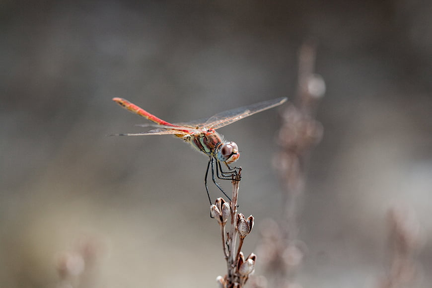 How-to-Photograph-Dragonflies