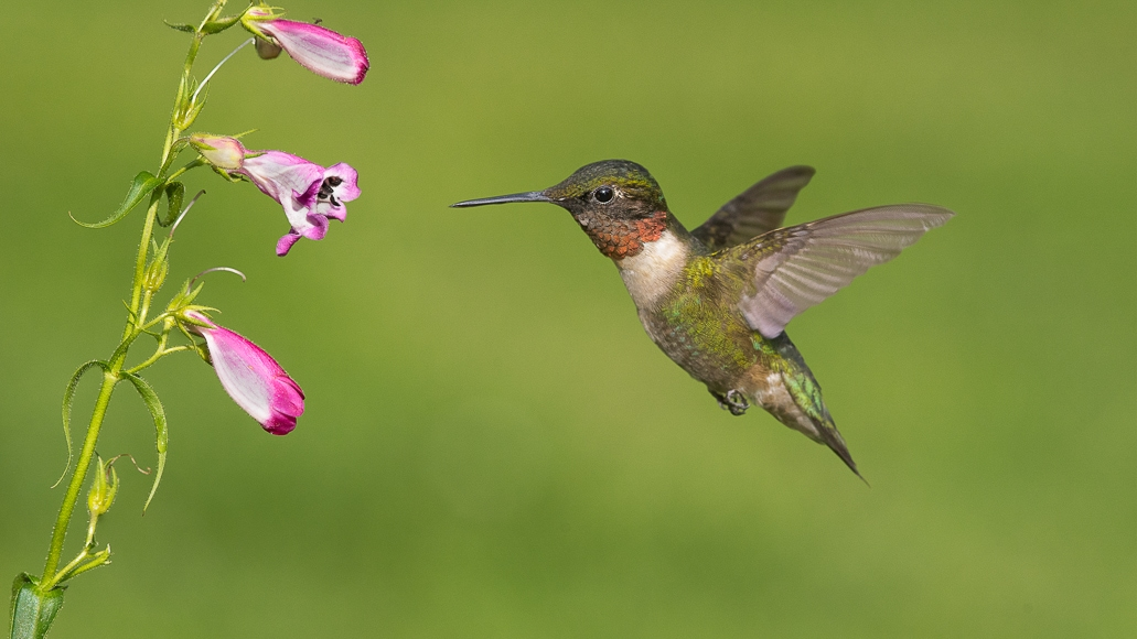 Birds in flight photography: hummingbirds require fast shutter to get the focus point right.