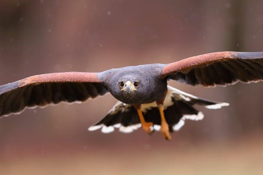 Birds in flight photography of a harris hawk