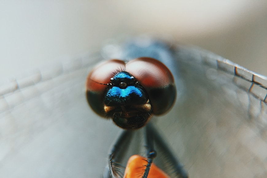 Macro picture dragonfly with eyes in focus