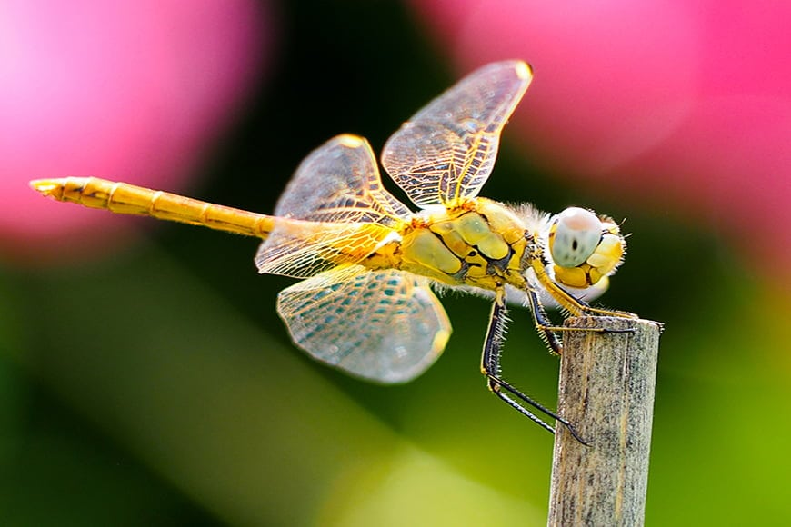 Dragonfly photography requires focus and creativity