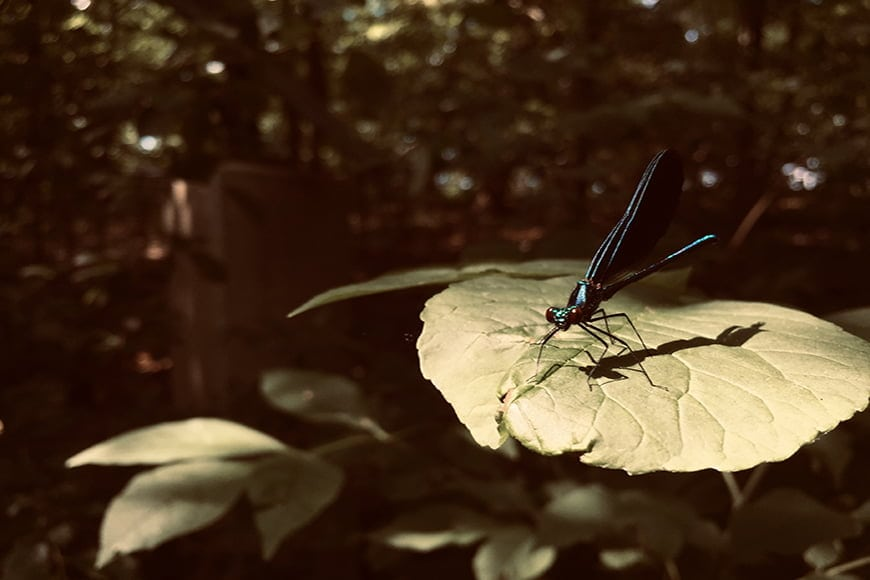 Dragonfly photography with sepia tones