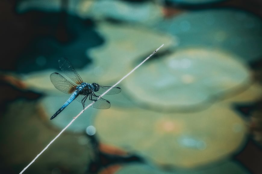 You can use a zoom lens or macro lens to photograph dragonflies