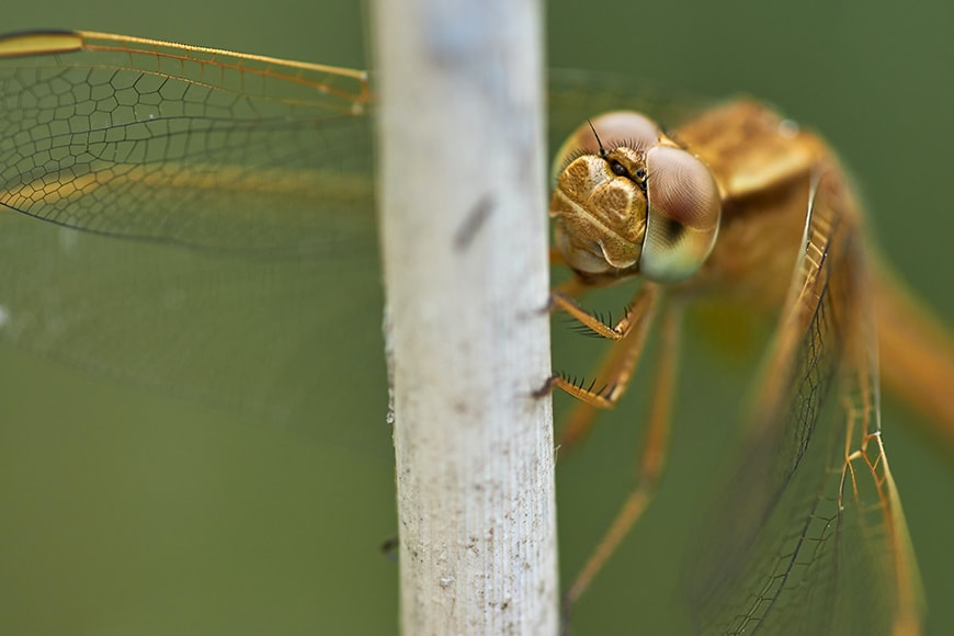 dragonflies photography using macro lens with eyes in focus rights reserved wolfgang hasselmann