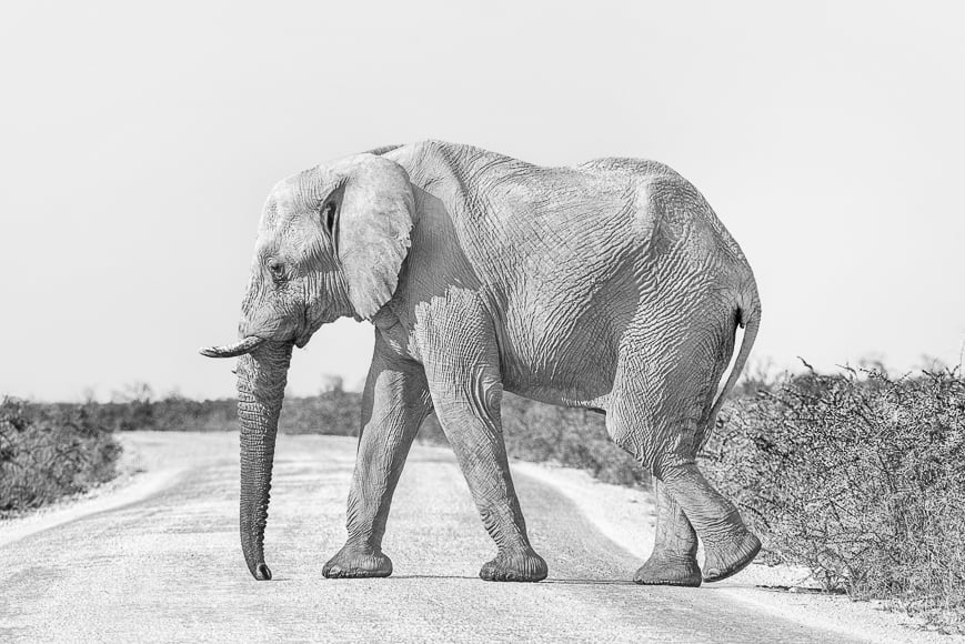 Black and white photography of elephant. b w is absence of color.