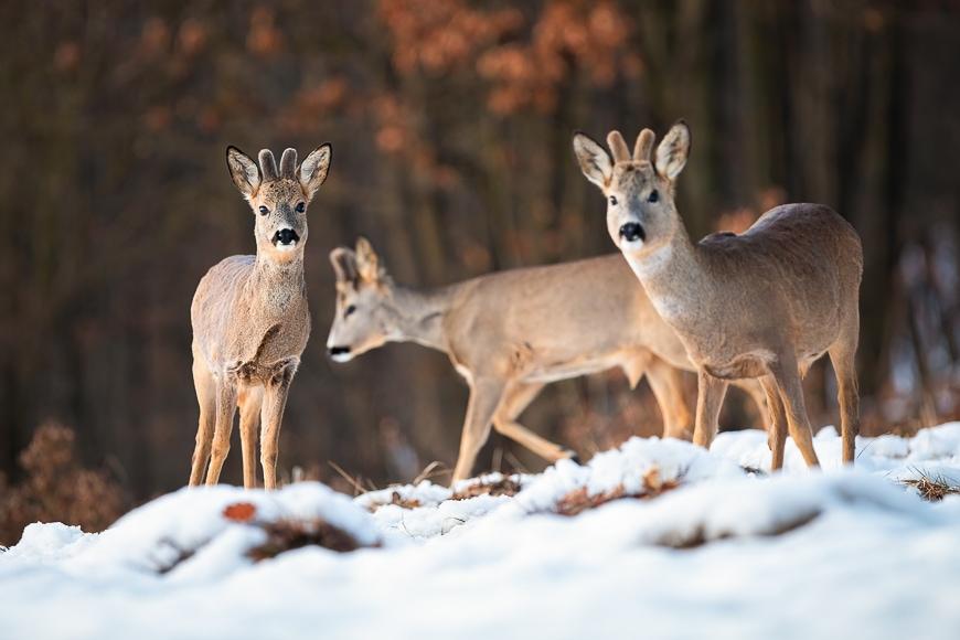 Wildlife deer in the snow.