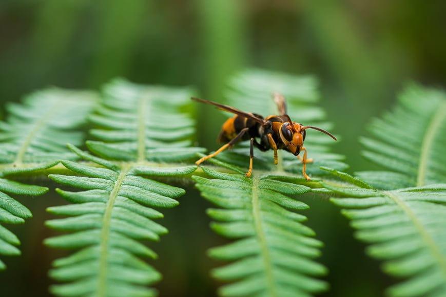 Macro shot of a bee on a fern.