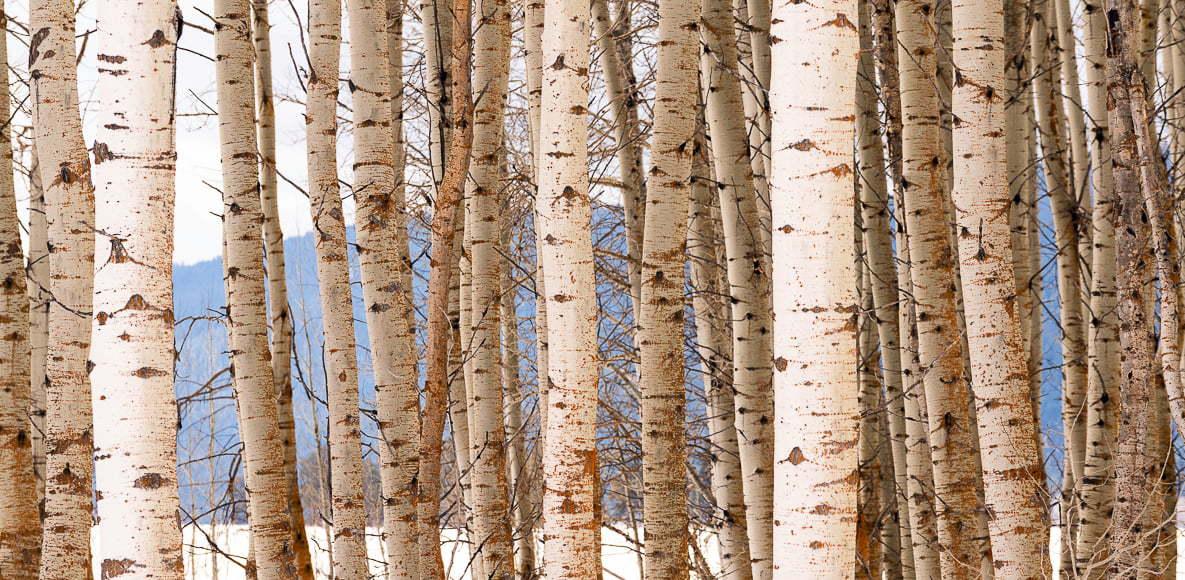 White bark of birch trees.