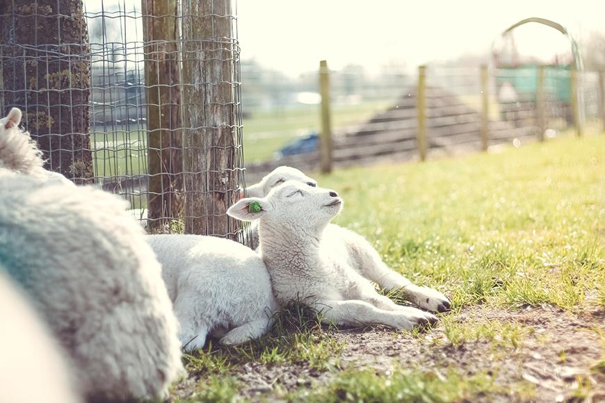 Photo of lambs laying in the sun
