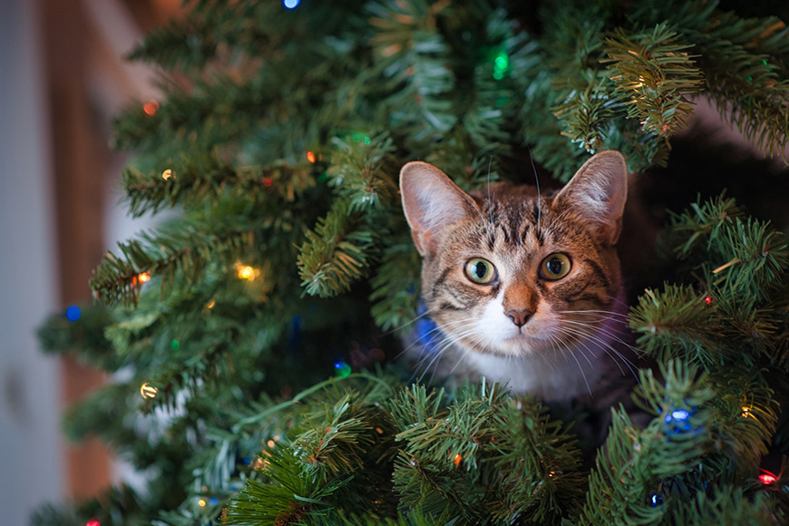 Cats face poking out of a tree with lights