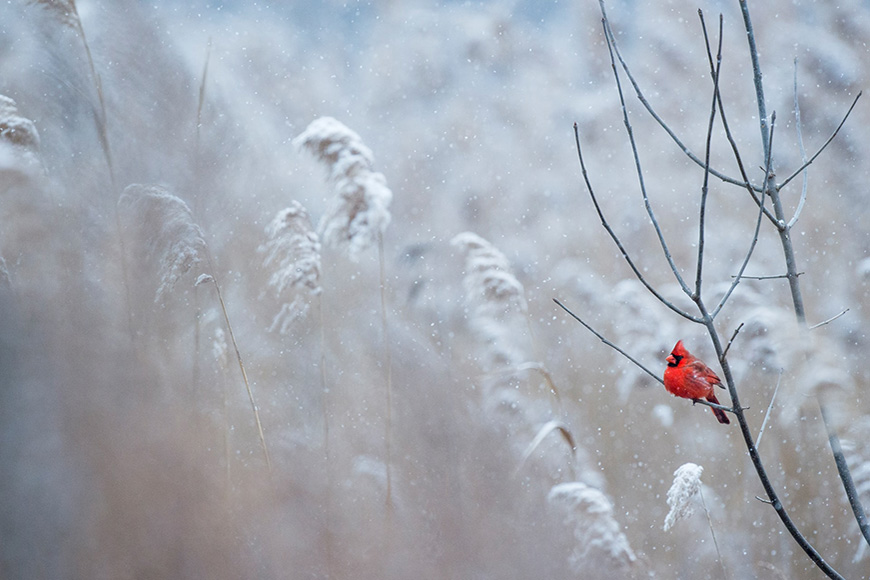 Single red bird sitting on a branch surrounded by snow covered grass