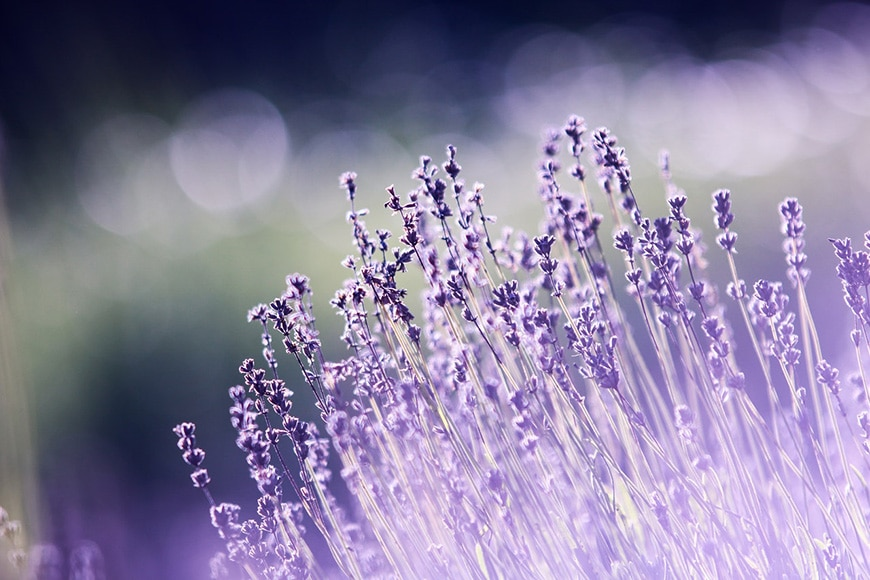 Lavender field with bokeh