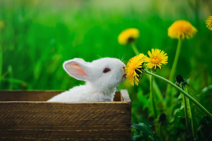 Cute bunny and dandelions