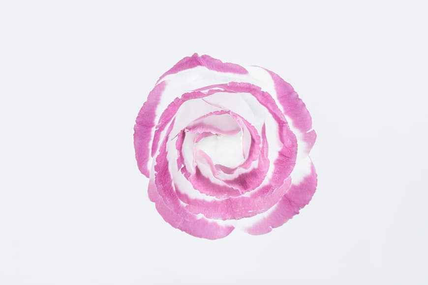 Rose with pink and white