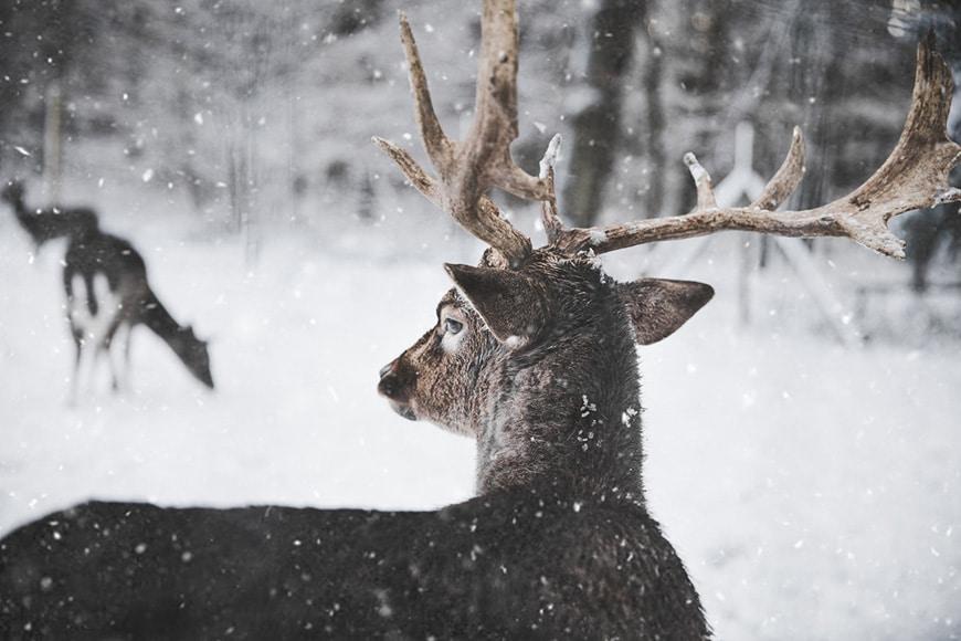 Wild deer in snow