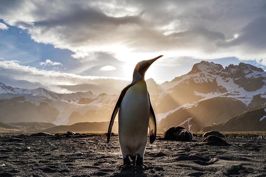 Penguin in golden light