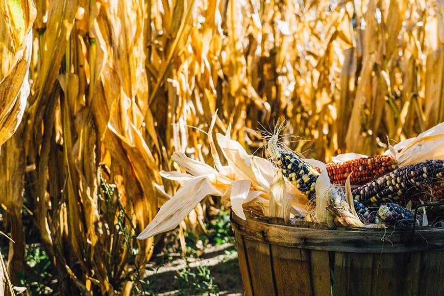 Photo of autumn harvest corn basket