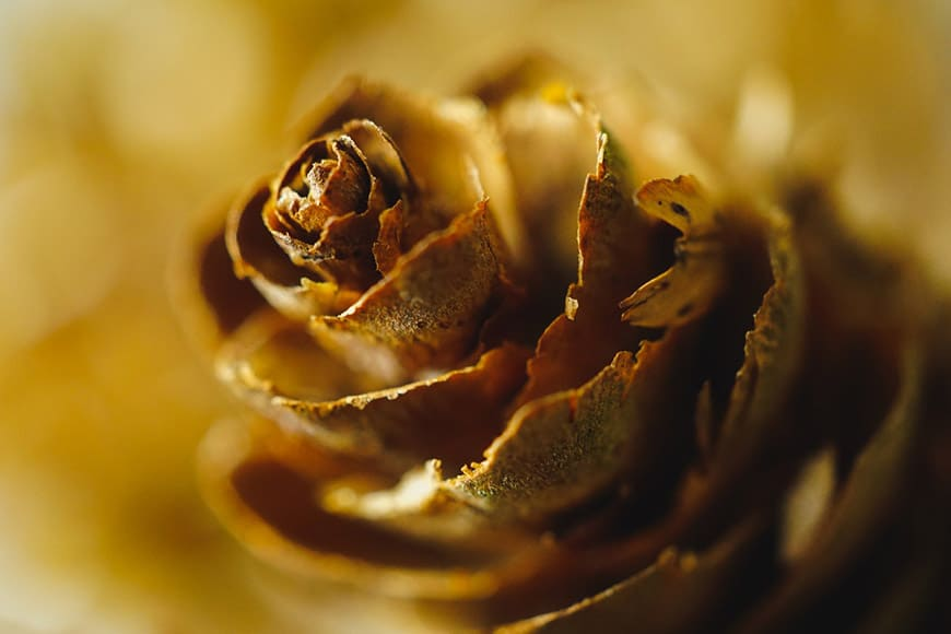 Macro shot of a pinecone