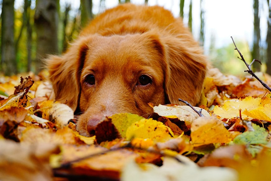 Pet photo of dog lying in leaves