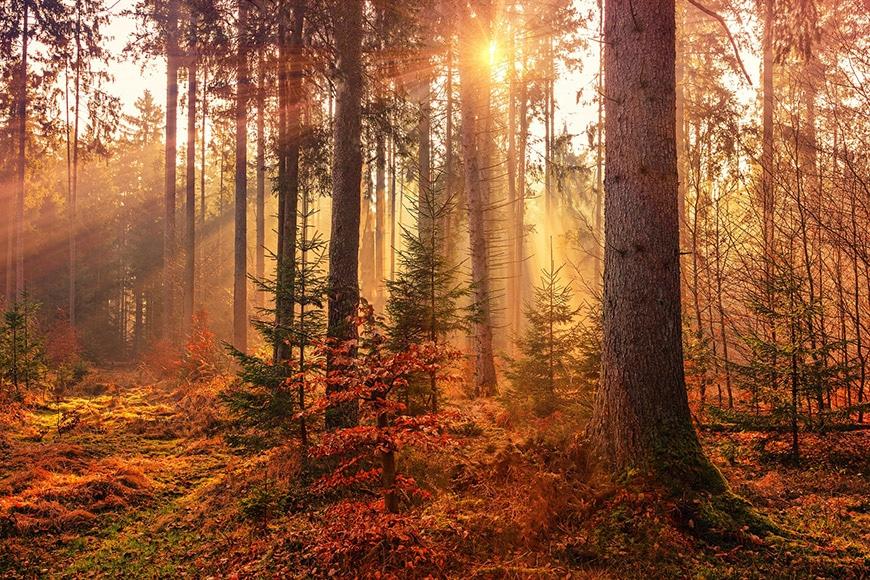 Golden sun light filtering through forest
