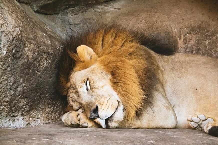 Male lion sleeping