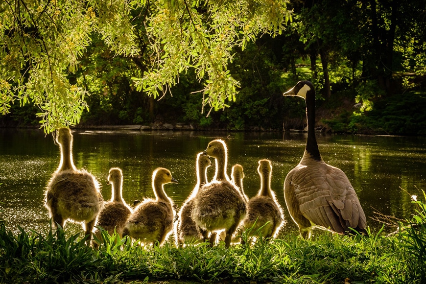 Geese in golden sunlight