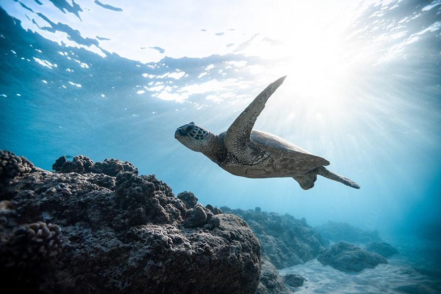 Underwater wildlife photography of sea turtle