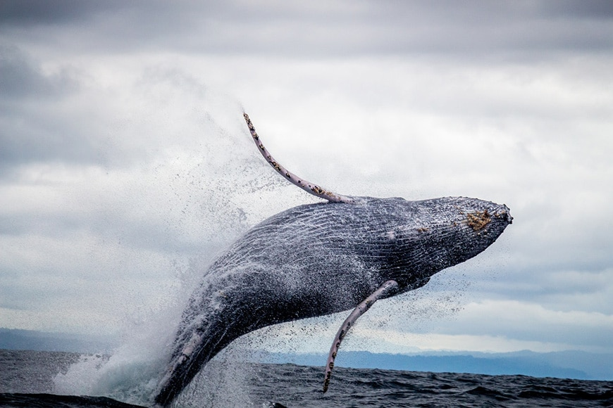 Wildlife photography of whale breeching out of ocean