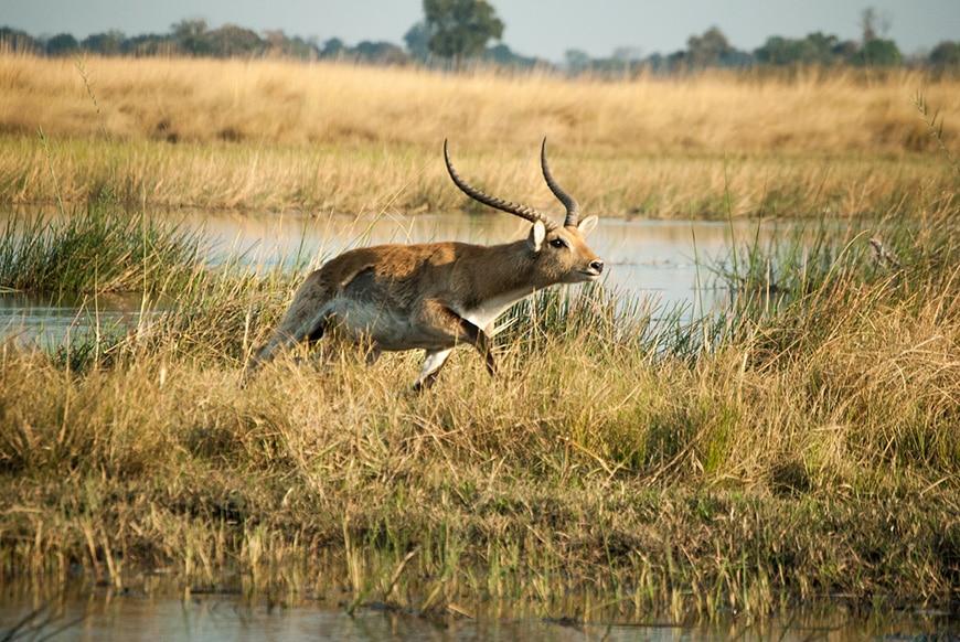Springbok running in the wetlands
