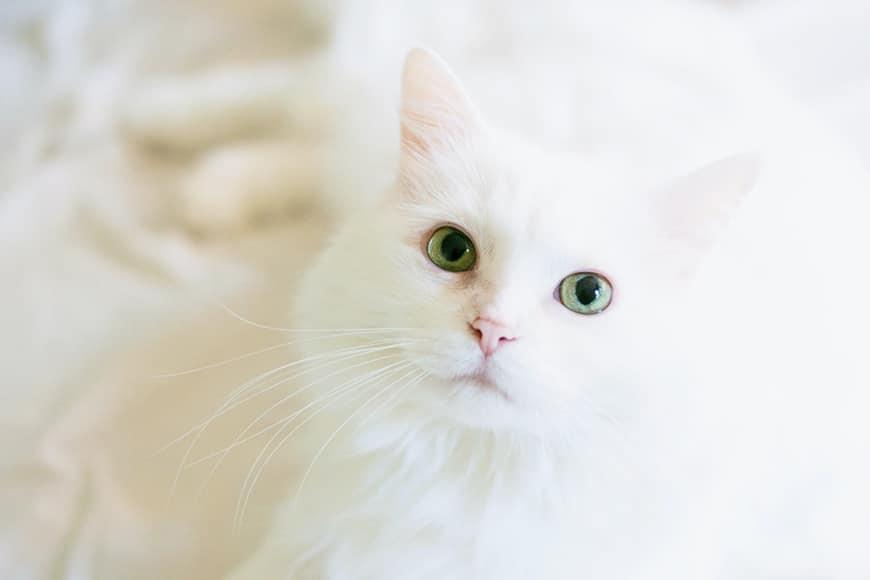 High key light example white cat