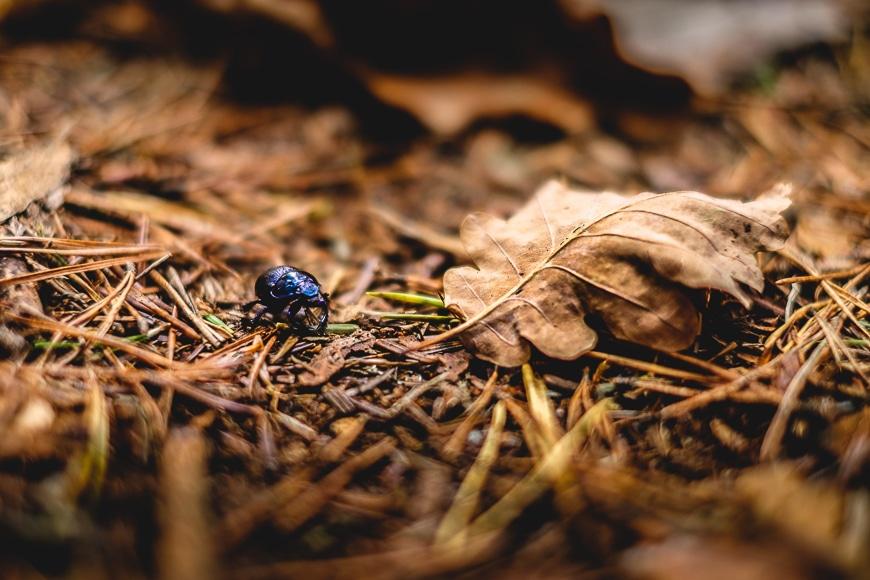 Macro shot of a blue bug on brown leaves