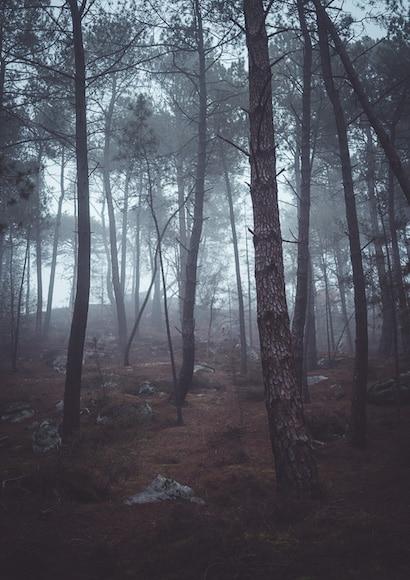 Misty pine forest - Rokinon AF 35mm f/1.8