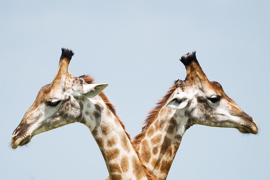 Two giraffes looking away from eachother